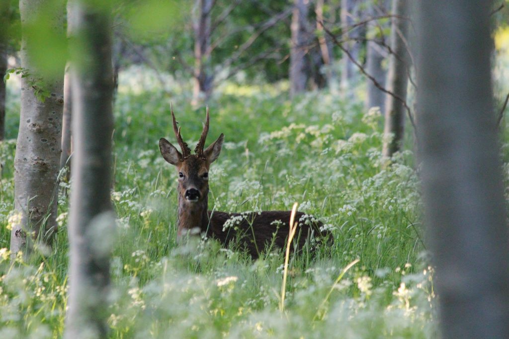 A deer in woodland